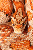Corn snake. A miami corn snake that i keep as a pet Royalty Free Stock Photo