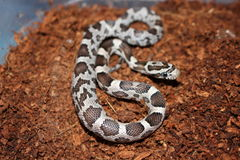 Corn snake baby royalty free stock photo