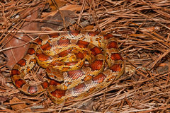 Corn Snake. A Corn Snake blending in with its natural habitat Stock Photography