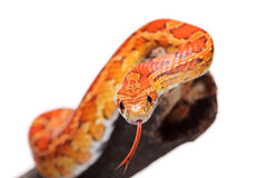 Corn snake on a branch. Isolated on white background Royalty Free Stock Image
