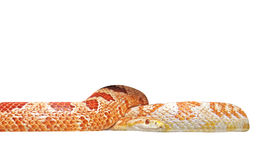 Corn Snake Coiled on White Background, Clipping Path Stock Photography