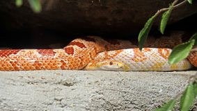 Corn Snake Coiled on Nature Background Stock Image