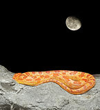 Corn Snake Coiled on The Rock on Night Scene Royalty Free Stock Photos