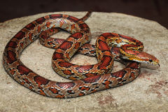 Corn Snake. Curled up on log - filling the frame Royalty Free Stock Photos