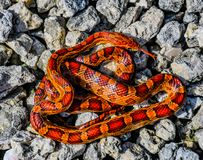 Corn Snake in Knots royalty free stock photos