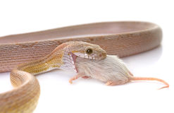 Free Corn Snake Eating Mouse Stock Images - 87892854