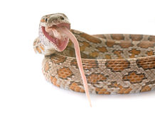 Corn snake eating mouse Royalty Free Stock Images