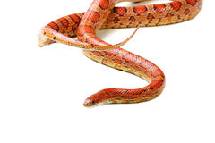 Corn snake (Elaphe guttata) Royalty Free Stock Photo