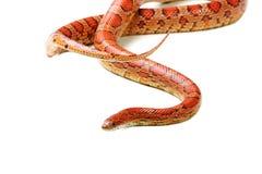 Corn snake (Elaphe guttata) Royalty Free Stock Photo