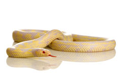 Corn Snake - Elaphe guttata. In front of a white background stock photo