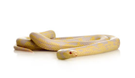 Corn Snake - Elaphe guttata Stock Images