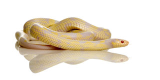 Corn Snake - Elaphe guttata Stock Photos
