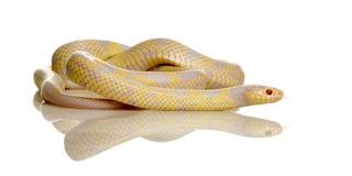 Corn Snake - Elaphe guttata. In front of a white background stock photos