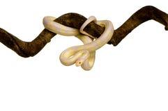 Corn Snake - Elaphe guttata Stock Photos