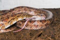 Corn snake (Elaphe guttata) eating a mouse Stock Photo