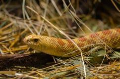 Corn snake elophe rufodorsata on straw. royalty free stock photography