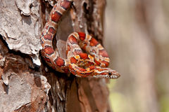 Corn Snake. A Corn Snake foraging in the bark of a pine tree Royalty Free Stock Images
