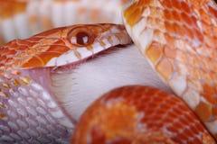 Corn snake Royalty Free Stock Photo