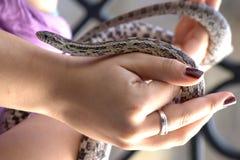 Corn snake in hands Stock Photo