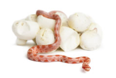 Corn snake hatching, Pantherophis guttatus. Guttatus, also know as red rat snake against white background royalty free stock images