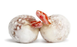 Corn snake hatching, Pantherophis guttatus Royalty Free Stock Photos