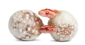 Corn snake hatching, Pantherophis guttatus Royalty Free Stock Images