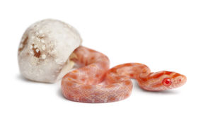 Corn snake hatching, Pantherophis guttatus Stock Images