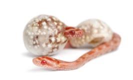Corn snake hatching, Pantherophis guttatus Stock Image