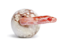 Corn snake hatching, Pantherophis guttatus Royalty Free Stock Image