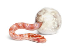 Corn snake hatching, Pantherophis guttatus. Guttatus, also know as red rat snake against white background royalty free stock image