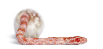 Corn snake hatching, Pantherophis guttatus Stock Photos