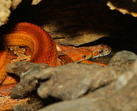 corn snake Hidden Royalty Free Stock Images