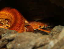 Corn snake Hidden in cave Stock Images