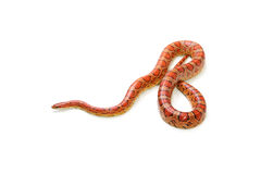 Corn snake o Stock Photography
