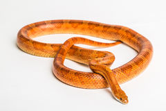 Corn snake. The corn snake is a North American species of rat snake that subdues its small prey by constriction. Iolated on white background Royalty Free Stock Image