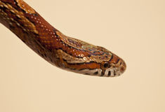 Corn Snake. The corn snake. (Pantherophis guttatus) is a North American species of rat snake that subdues its small prey by constriction. Corn snakes are found Stock Photo