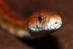 Corn snake portrait Stock Image