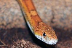 Corn snake portrait Stock Images