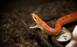 Corn Snake ready to launch an attack Stock Images