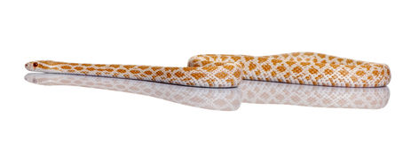 Corn snake or red rat snake, slithering Stock Image