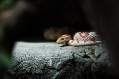 Corn snake on a rock. Royalty Free Stock Photos