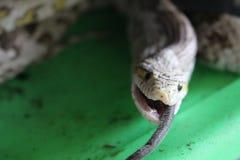 Corn Snake Swallowing Black Mouse Stock Photos