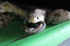 Corn Snake Swallowing a Black Mouse Whole Stock Images