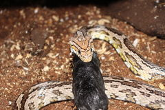 Corn Snake swallowing a large rodent Royalty Free Stock Photo