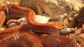 Corn snake swallowing rat
