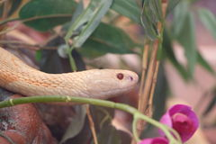 Corn snake in a terrarium Stock Images