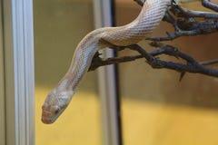 Corn snake in a terrarium Stock Photography