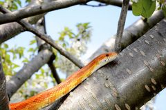 Corn snake on a tree branch Stock Photos
