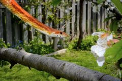 Corn snake on a tree branch Stock Images