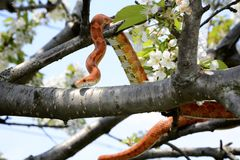 Corn snake on a tree branch Stock Photography